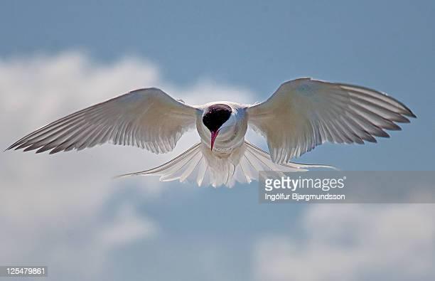Kría, Arctic Tern (Sterna paradisaea)