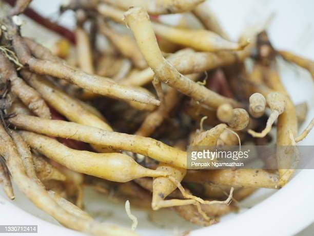 krachai, boesenbergia rotunda fingerroot, lesser galangal or chinese ginger, is a medicinal and culinary herb from china and southeast asia shape of the rhizome resembles fingers growing out of center piece. fingerroot is a kind of ginger, thai herb in wh - rotunda stock pictures, royalty-free photos & images