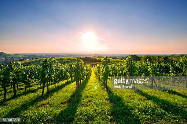 kraichgau vineyard (germany) - baden württemberg stock photos and pictures
