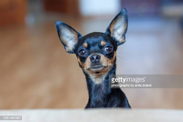 krasavchick the black beauty - 愛玩犬 ストックフォトと画像