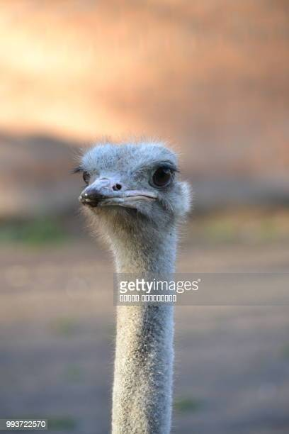 krasnoyarsk,russia - ostrich stockfoto's en -beelden