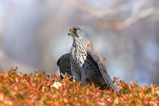 A Krestrel Hunting Sparrow - gettyimageskorea