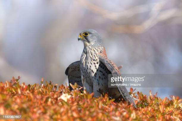 A Krestrel Hunting Sparrow