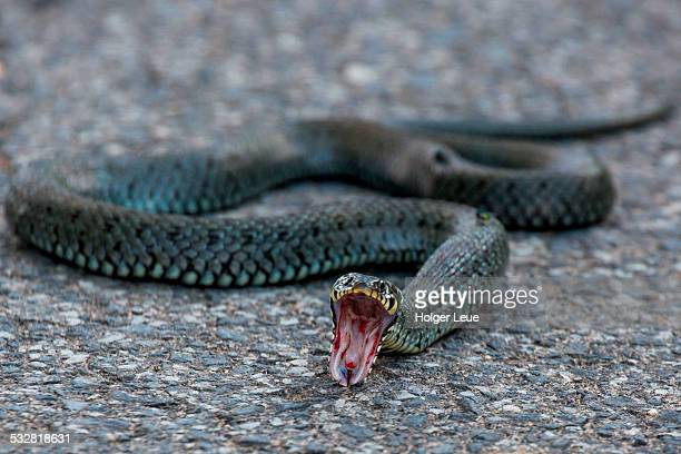 Kreuzotter snake (Vipera berus) on pavement