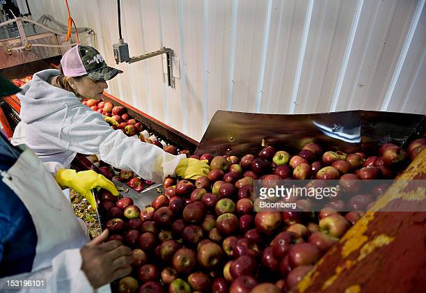 Kris Shukis and Alfred Thomas sort apples on the grater line as apple cider is made at the Hill Brothers Orchards and Cider Mill in Grand Rapids...