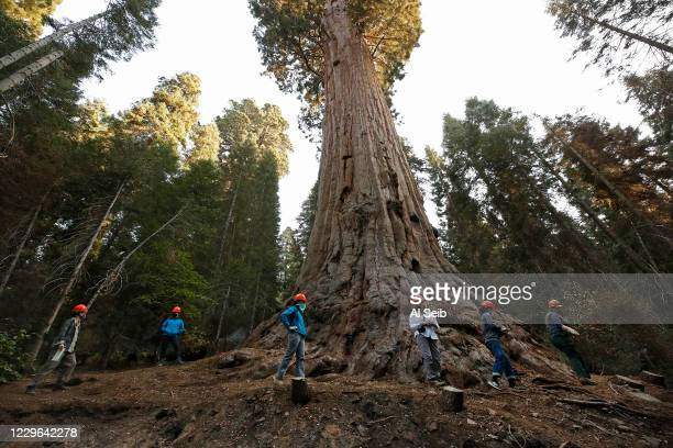 Kristen Shive, Director of Science for Save The Redwoods Shive leads a group around the the base of the 3,000-year-old Stagg Tree, the fifth-largest...