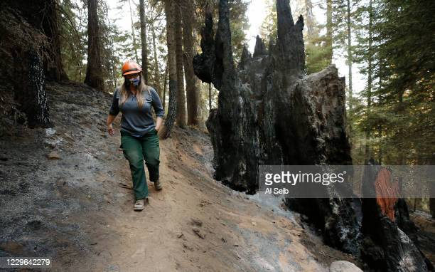 Kristen Shive, Director of Science for Save The Redwoods walks past burned tree trunks near the 3,000-year-old Stagg Tree, the fifth-largest giant...