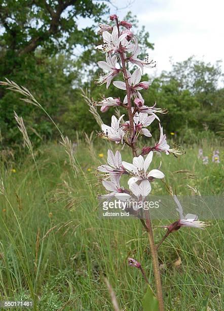 Kroatien Istrien Groznjan Natur Blüte Blüten Der Diptam auch Aschwurz oder Brennender Busch genannt ist die einzige Art der monotypischen Gattung...