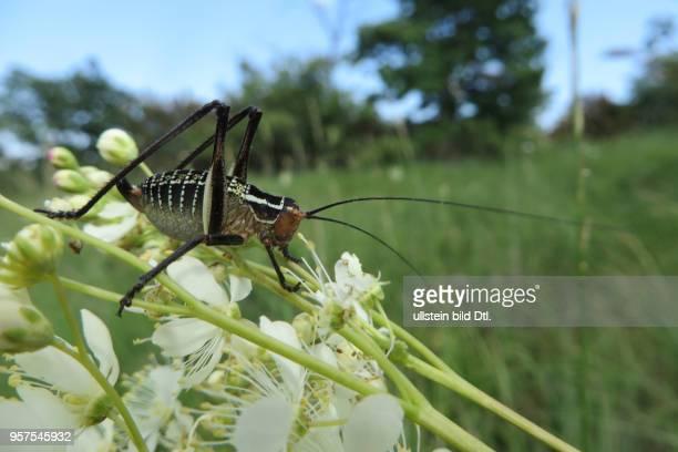 Kroatien Istrien Labin Mittelmeer Adria Insekt Insekten Heuschrecke Heuschrecken Ensifera Langfühlerschrecke Sichelschrecke Sichelschrecken Dunkle...