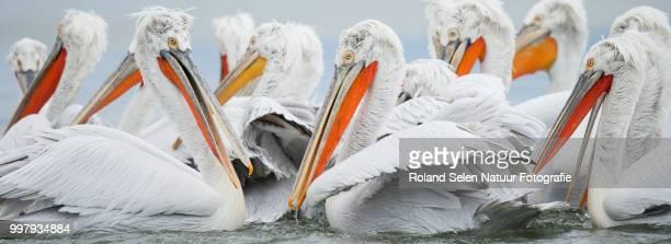 Kroeskoppelikaan - Dalmatian pelican