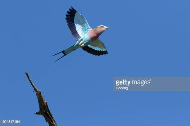 Kruger National Park A lilacbreasted roller in flight South Africa