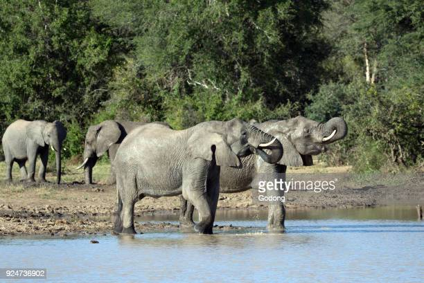 Kruger National Park African Elephant at water hole South Africa