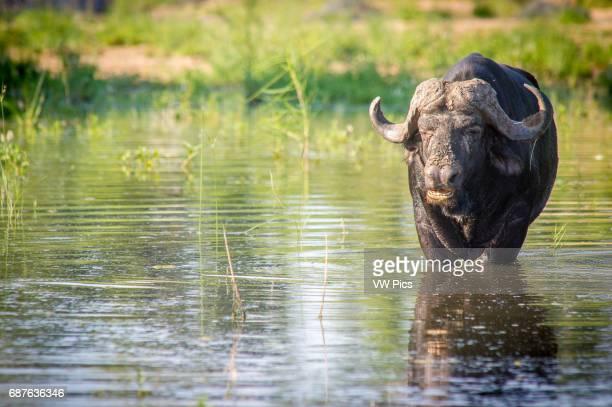 AFRICA Kruger National Park Cape Buffalo