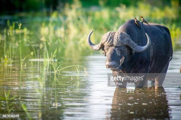 AFRICA Kruger National Park Cape Buffalo Red Billed Ox Pecker