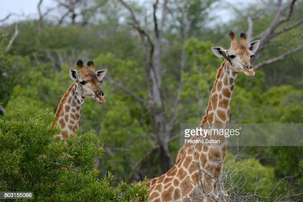 Kruger National Park Giraffe on April 16 2017 in South Africa