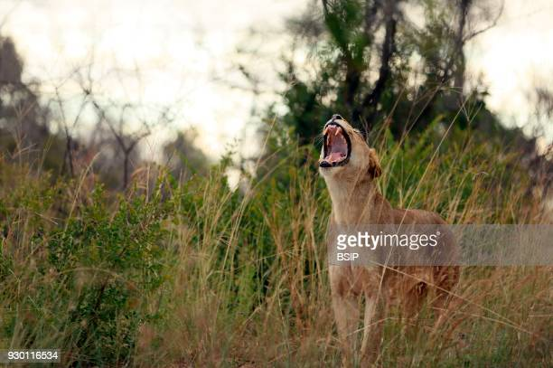Kruger National Park Lioness yawning Panthera leo South Africa