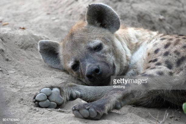 Kruger National Park Spotted hyena pup Spotted hyena pup South Africa