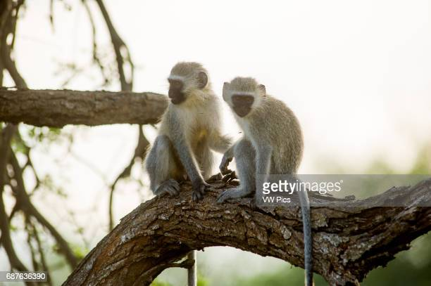 AFRICA Kruger National Park Vervet Monkey
