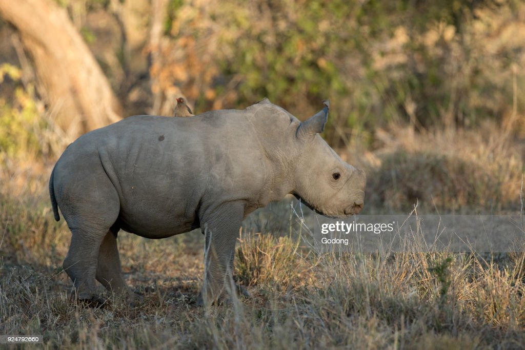 Kruger National Park. Young White Rhinoceros . South