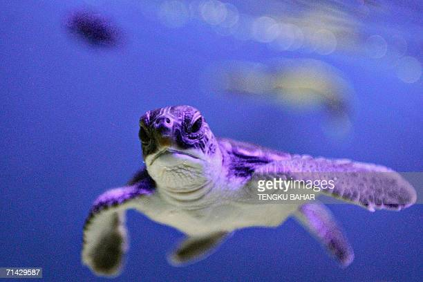 A green sea turtle hatchling swims in a tank at the turtle conservancy section of Aquaria KLCC in Kuala Lumpur 13 July 2006 Malaysia's northern state...
