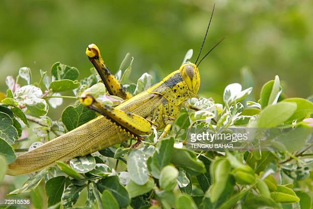 A locust rests on some vegetation at a yard in the outskirts of Kuala Lumpur 19 October 2006 Locusts some species which can reach 6 inches in length...