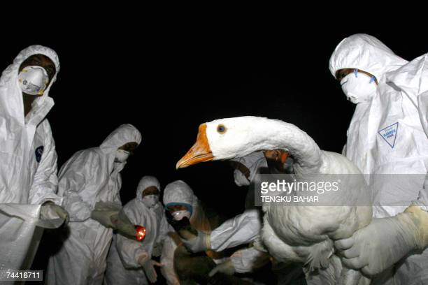 A veterinary services employee holds a goose as other members of his team stand by to take an anal swab for the H5N1 avian influenza virus test...
