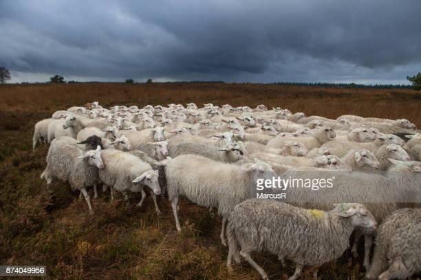 Kudde schapen op de hei