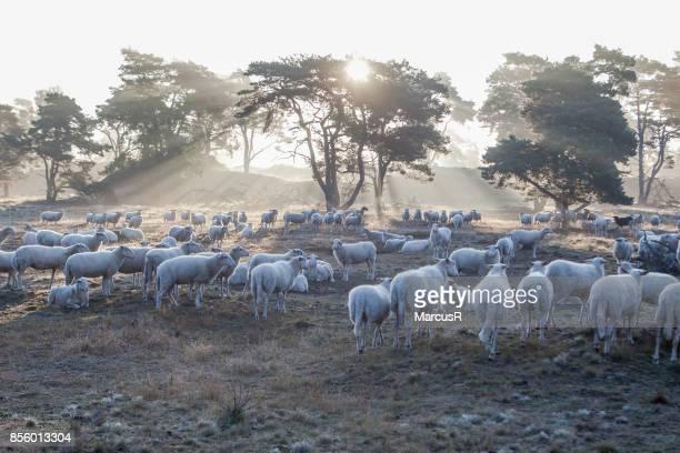 Kudde schapen wordt wakker