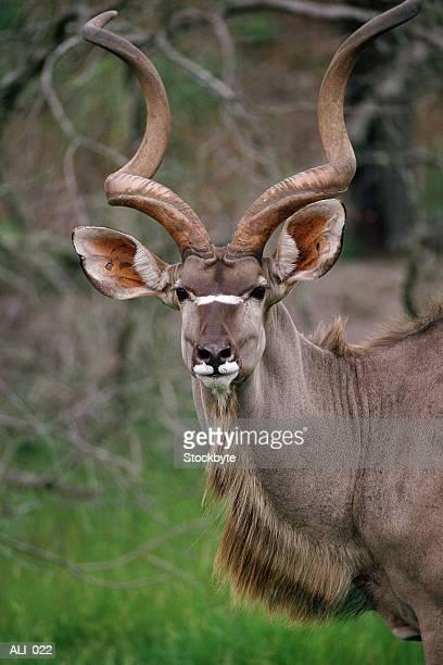 Kudu antelope in wild