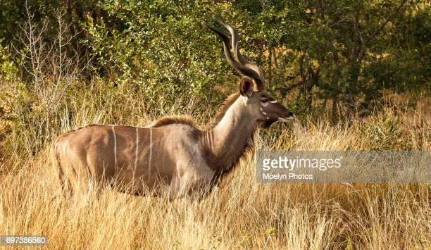 Kudu Buck in the Grass