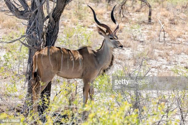 Kudu, Etosha National Park, Namibia, Africa