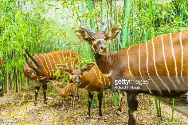 kudu family of antelopes in a diorama. - field museum of natural history stock pictures, royalty-free photos & images
