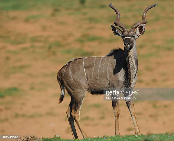 A kudu is pictured at Addo Elephant National Park in the Eastern Cape region of South Africa near Port Elizabeth on July 92010AFP PHOTO/ Rodrigo...