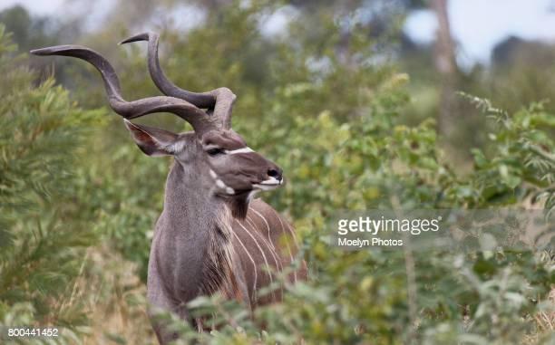 Kudu Profile