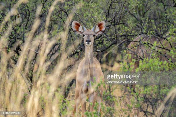 A kudu stands dazzled in the drought stricken Hwange National Park in Zimbabwe on November 12 2019 Over 200 elephants have died along with other...