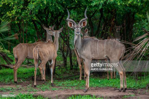 Kudus stand in a holding inclosure at Liwonde National Park in Southern Malawi on December 27 2017 African Parks conservation organisation is...