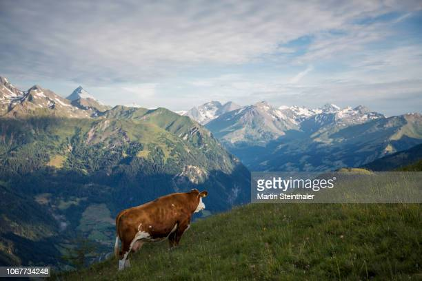 Kuh auf der Alm genießt die Aussicht auf Großglockner  - Nationalpark Hohe Tauern Molltal