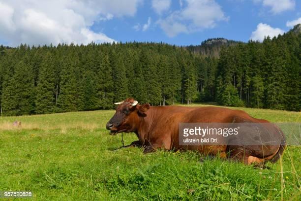 Kuh Dolina Koscieliska Hohe Tatra Polen