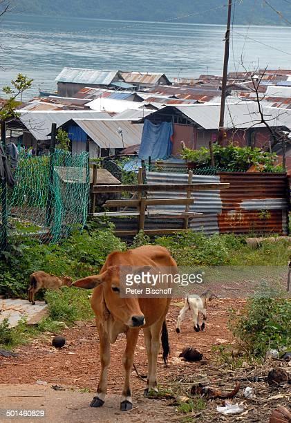 Kuh im Fischerdorf bei Pantai Cenang Insel Langkawi Malaysia Asien Meer Tier Reise NB DIG PNr 1836/2011