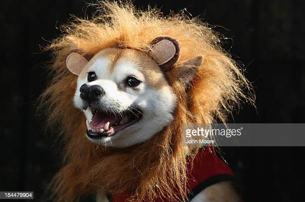 Kuma a Shibu Inu poses as a lion at the Tompkins Square Halloween Dog Parade on October 20 2012 in New York City Hundreds of dog owners festooned...