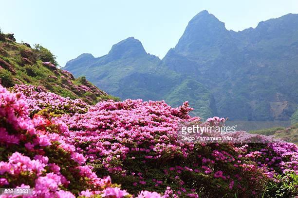 kumamoto prefecture, japan - azalea stock pictures, royalty-free photos & images
