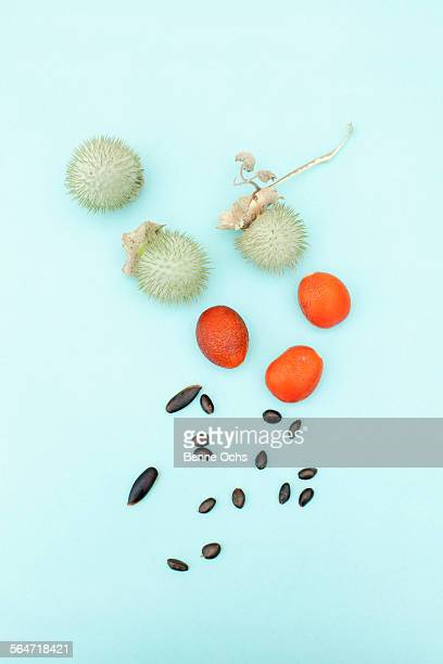 kumquat and datura plant fruits with seeds on blue background - saia branca - fotografias e filmes do acervo
