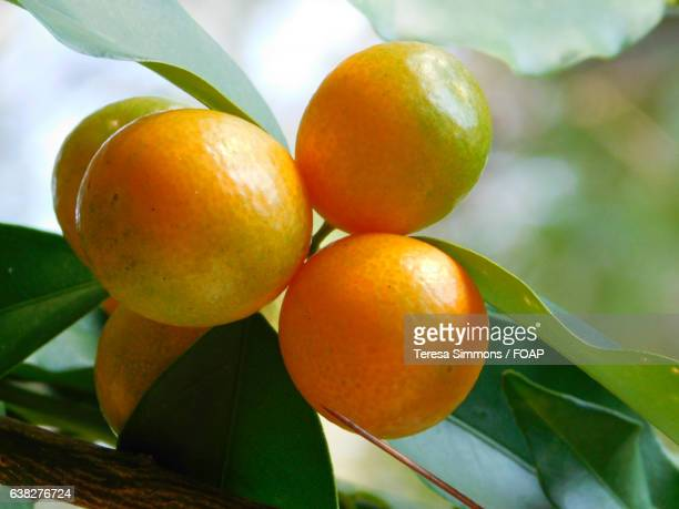 Kumquat fruit