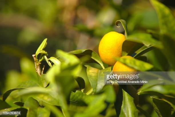 Kumquat fruits