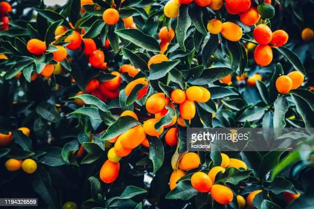 kumquat tree - ミカン ストックフォトと画像