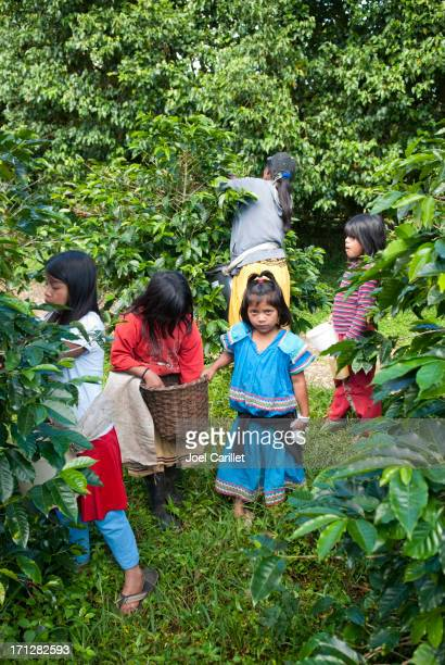 children helping with coffee harvest in panama - child labor stock pictures, royalty-free photos & images