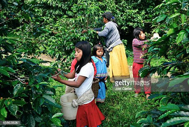 children harvesting coffee - central america stock pictures, royalty-free photos & images