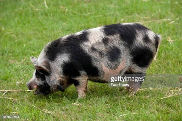 kune kune pig grazing on grass Warwickshire