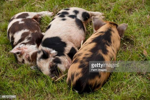 kune kune piglets sleeping on grass Warwickshire