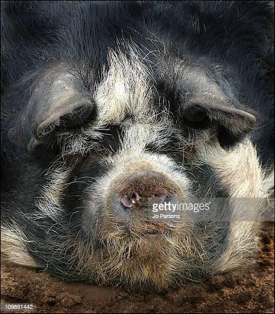 kunekune pig portrait - イギリス バークシャー ストックフォトと画像